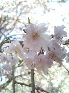 桜のランプ